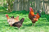 Hens and rooster — Stock Photo