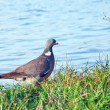 Wood pigeon. (Columba palumbus) — Stockfoto #45581149