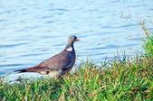 Wood pigeon. (Columba palumbus) — Stock Photo