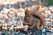 Squirrel with nut. Spring day. — Stock Photo