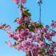 Постер, плакат: Cherry blossom Nantes France