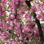 Cherry blossom. Nantes, France — Stock Photo #45752195
