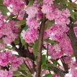 Cherry blossom. Nantes, France — Stock Photo #45752199