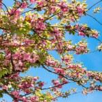 Cherry blossom. Nantes, France — Stock Photo #45752215