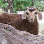 ������, ������: Home goat ibex Turkey