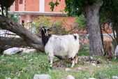 Home goat,  ibex.  Turkey — Stock Photo