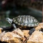 Turtle — Stock Photo #47269611