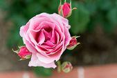 Pink rose — Stock Photo