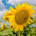 Sunflowers, Ukraine, Dnipropetrovsk region — Stock Photo #50073263