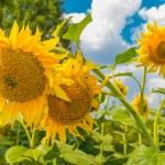 Sunflowers, Ukraine, Dnipropetrovsk region — Stock Photo #50073271