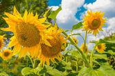 Sunflowers, Ukraine, Dnipropetrovsk region — Photo