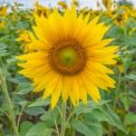 Sunflowers, Ukraine, Dnipropetrovsk region, 18.07.2014. — Stock Photo #50281091