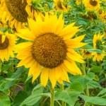 Sunflowers, Ukraine, Dnipropetrovsk region, 18.07.2014. — Stock Photo #50281127