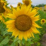 Sunflowers, Ukraine, Dnipropetrovsk region, 18.07.2014. — Stock Photo #50281141