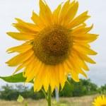 Sunflowers, Ukraine, Dnipropetrovsk region, 18.07.2014. — Stock Photo #50281143