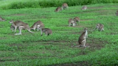Group of Wallabies on a grass field — Stock Video