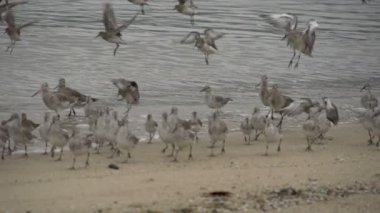 Curlew Sandpiper birds landing — Stock Video