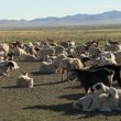 Cattle in Mongolia — Stock Video #45843069