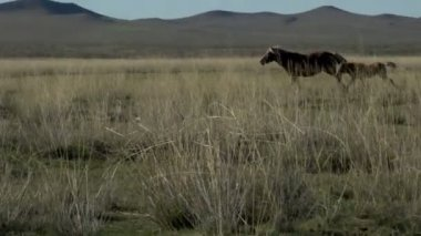 Mother and baby horse running away in Mongolia — Stock Video