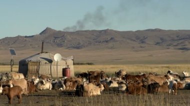 Cows, sheep and goats in front of a Yurt — Stock Video