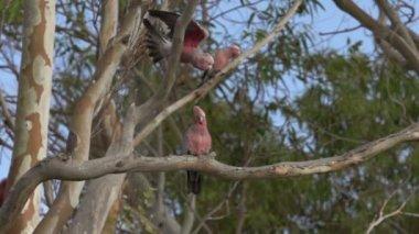 Gang-gang Cockatoo flying away — Stock Video