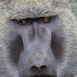 Olive Baboon close up — Stock Photo