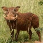 Warthog — Stock Photo #47319819