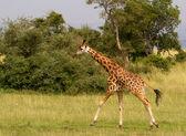 Running Giraffe — Stock Photo