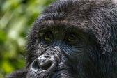 Mountain Gorilla — Stock Photo