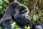 Mountain Gorilla eating. — Stock Photo