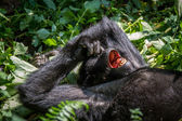 Mountain gorilla petar näsan — Stockfoto
