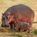 Постер, плакат: Hippo with baby hippo