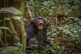 Screaming Chimpanzee — Stock Photo