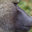 Olive Baboon close up — Stock Photo #48166857
