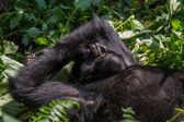 Mountain Gorilla pokes nose — Stock Photo