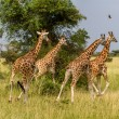 Giraffes running off — Stock Photo #48334477