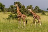 Rotschild's giraffes — Stock Photo