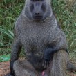 Olive Baboon — Stock Photo #49149643