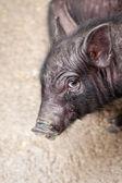 Kameraya bakarak sevimli siyah domuz yavrusu — Stok fotoğraf