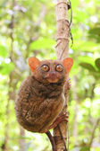 Phillipine tarsier in tropical forest  — Stockfoto