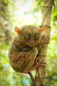 Phillipine tarsier in tropical forest  — 图库照片