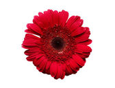Rich red gerbera — Stock Photo