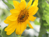 Bee collects pollen on a young sunflower — Stock Photo