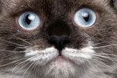 Close-up portrait siamese cat with blue eyes and funny mustache — Stock Photo