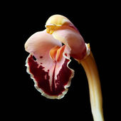 Cymbidium Orchid — Stock Photo
