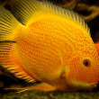 Постер, плакат: Parrot Cichlid fishes Bloody Parrot Parrotfish