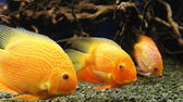Parrot Cichlid fishes (Bloody Parrot, Parrotfish) — Stock Photo