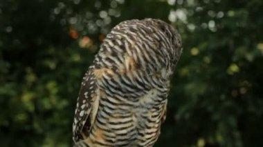 Owl turning its head towards camera — Stock Video