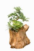 Masang Flowers on a tree stump — Stock Photo