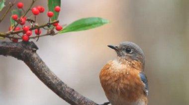 Eastern Bluebird Female — Stock Video